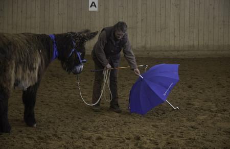 Poitou - Esel Amy mit Schirm