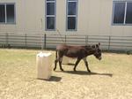 Esel in Lauterbach